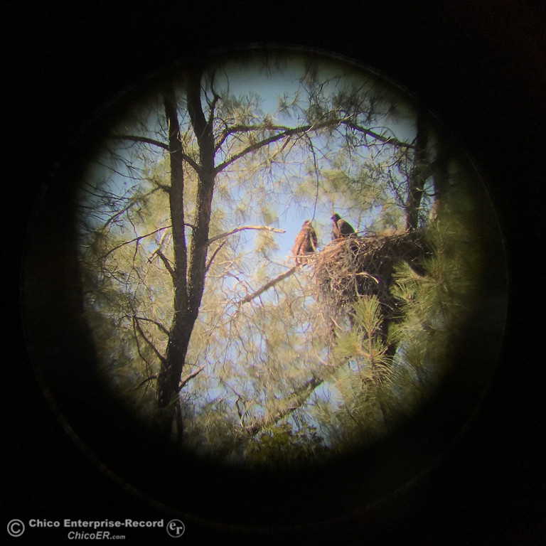 . Two bald eagle nestlings are seen through a telescope in a tree by the diversion pool in Oroville, June 1, 2018,  in Chico, California. (Carin Dorghalli -- Enterprise-Record)