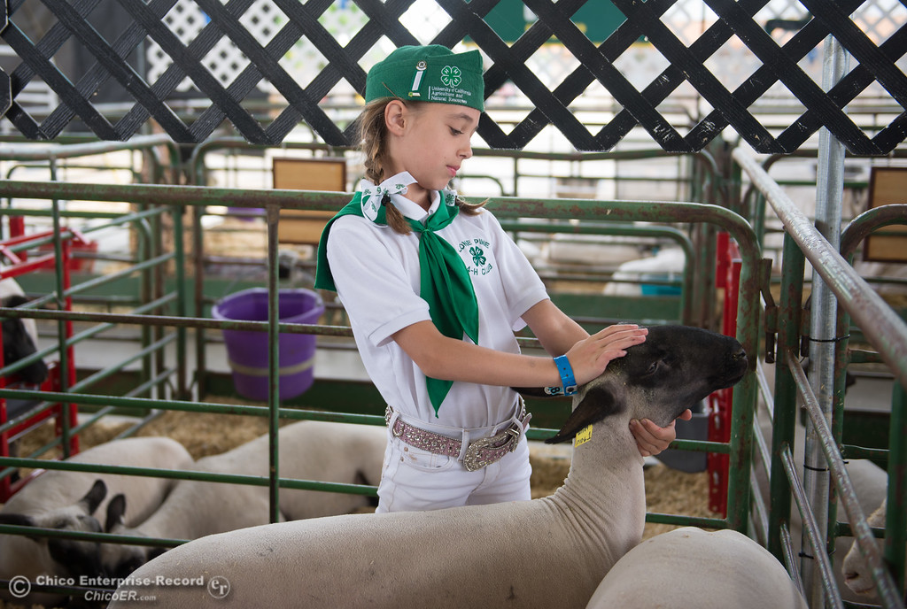 . Kaitlin Leete pets her sheep during the Junior Livestock Auction, May 26, 2018,  in Chico, California. (Carin Dorghalli -- Enterprise-Record)