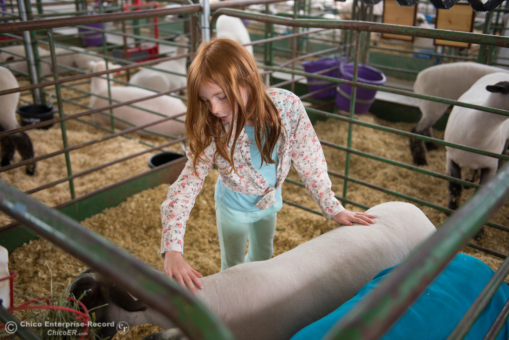 . Stella Pfeiffer pets a sheep during the Junior Livestock Auction, May 26, 2018,  in Chico, California. (Carin Dorghalli -- Enterprise-Record)