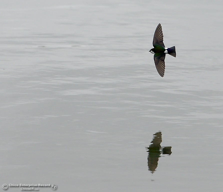 . A bird skimms along the water of the Sacramento River during a break in the rain in Chico, Calif. Friday May 25, 2018. (Bill Husa -- Enterprise-Record)