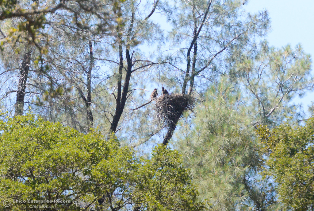 . Two bald eagle nestlings can be seen in a tree by the diversion pool in Oroville, June 1, 2018,  in Chico, California. (Carin Dorghalli -- Enterprise-Record)