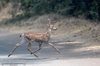A baby deer runs across the road near Bear Hole in Upper Bidwell Park Thursday, July 12, 2018.  (Bill Husa -- Enterprise-Record)