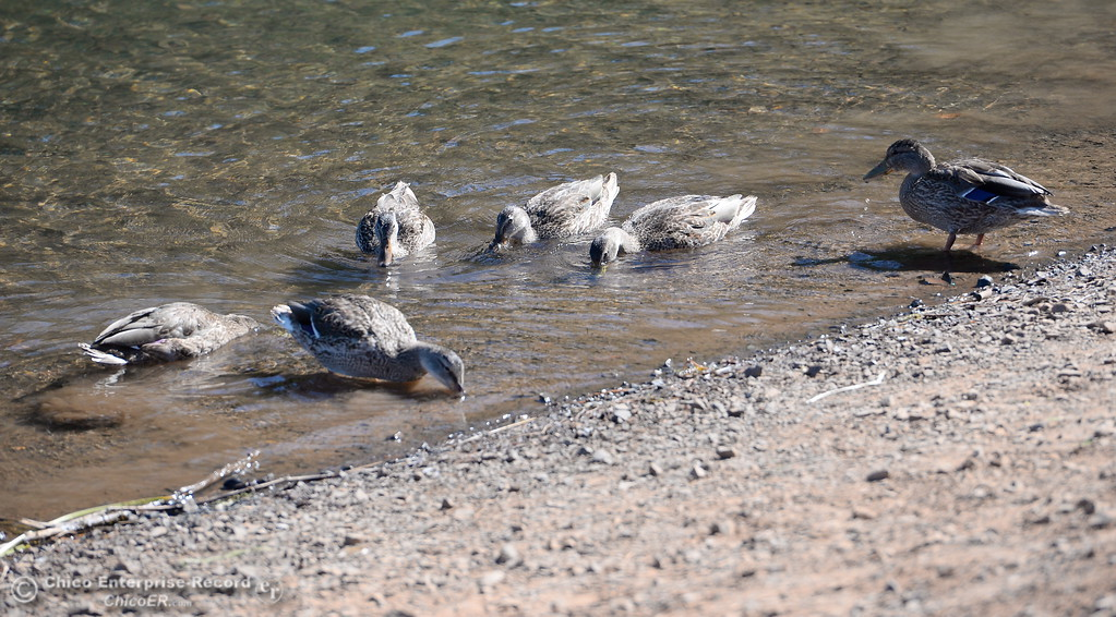 . Ducks hang out near a lawnchair at De Sabla Reservoir in Magalia, Calif. Tuesday July 18, 2017. (Bill Husa -- Enterprise-Record)
