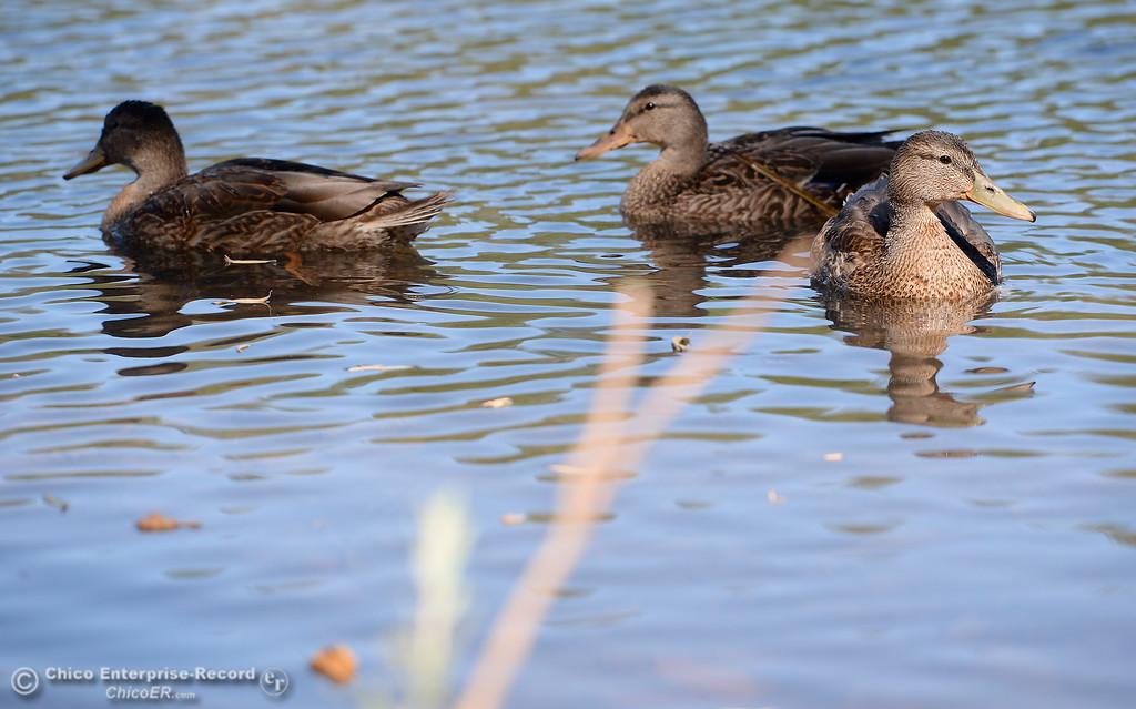 . Ducks cruise the shoreline at De Sabla Reservoir in Magalia, Calif. Tuesday July 18, 2017. (Bill Husa -- Enterprise-Record)