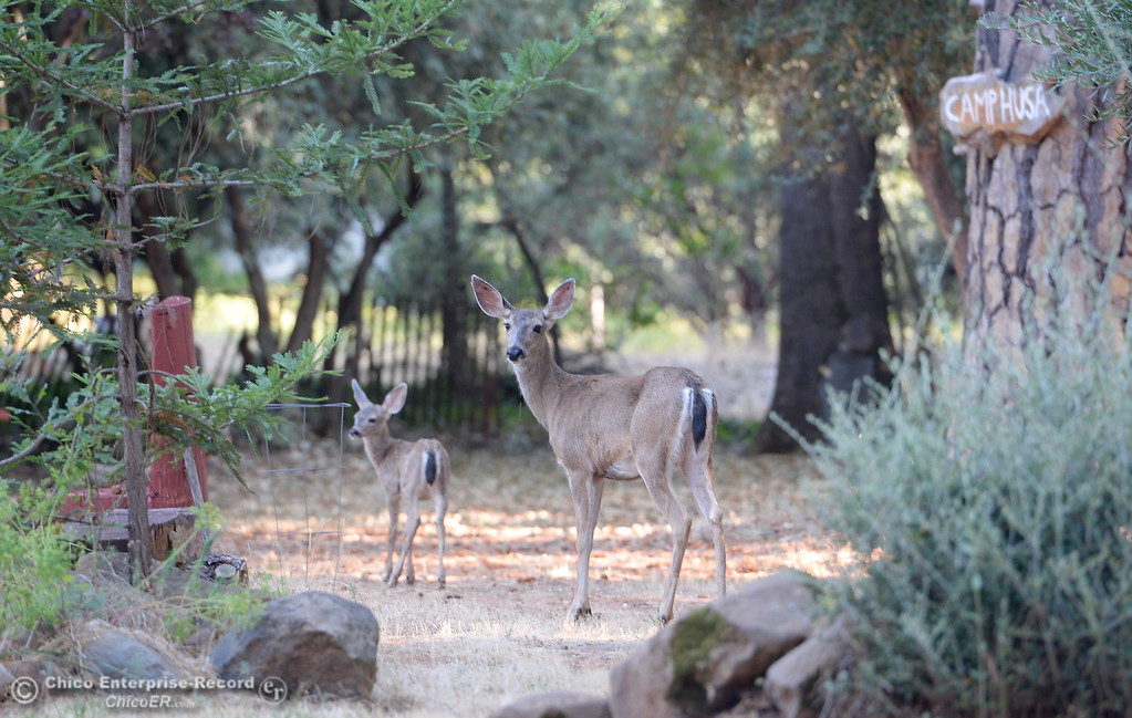 . A doe and her baby walk through my yard in Paradise, Calif. Thurs. July 27, 2017. (Bill Husa -- Enterprise-Record)