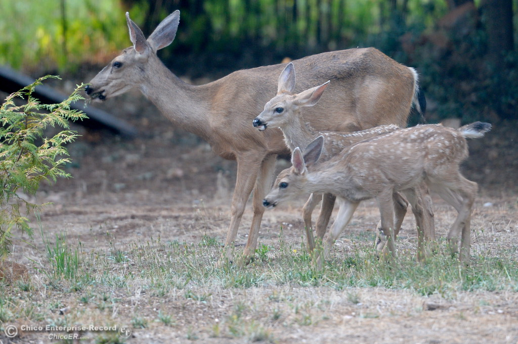 . A doe and her babies hang out in a Paradise, Calif. back yard Monday Aug. 7, 2017. Deer, wildlife, fawn. (Bill Husa -- Enterprise-Record)