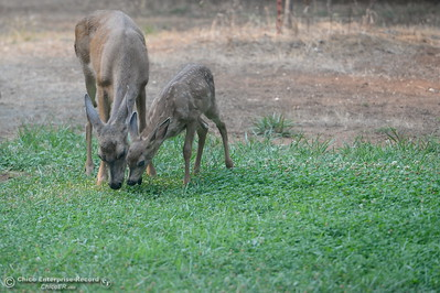 A doe and her baby deer eat grass in the backyard of a home in Paradise, Calif. Tuesday, July 31, 2018. (Bill Husa -- Enterprise-Record)
