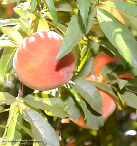 Ripe peaches are plucked from fruit-laden trees Tuesday, Aug, 2, 2016, as the Chico State Universtiy Farm in Chico, California, opens its orchards to the public for peach picking at $1.50 per pound. (Dan Reidel -- Enterprise-Record)