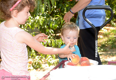 Abby Blake, 3, left, helps her brother Jason Blake, 1, fill up a bucket with ripe peaches Tuesday, Aug, 2, 2016, as the Chico State Universtiy Farm in Chico, California, opens its orchards to the public for peach picking at $1.50 per pound. (Dan Reidel -- Enterprise-Record)