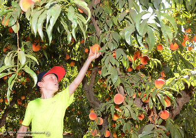 Owen Greene, 8, reaches up to pluck a ripe peach from a Fay Elberta tree Tuesday, Aug, 2, 2016, as the Chico State Universtiy Farm in Chico, California, opens its orchards to the public for peach picking at $1.50 per pound. (Dan Reidel -- Enterprise-Record)