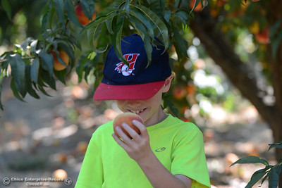 Owen Greene, 8, of Chico, smiles as smells a ripe peach just plucked from a fruit-laden tree Tuesday, Aug, 2, 2016, as the Chico State Universtiy Farm in Chico, California, opens its orchards to the public for peach picking at $1.50 per pound. (Dan Reidel -- Enterprise-Record)