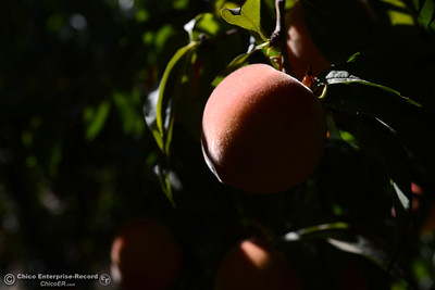 Ripe peaches are plucked form fruit-laden trees Tuesday, Aug, 2, 2016, as the Chico State Universtiy Farm in Chico, California, opens its orchards to the public for peach picking at $1.50 per pound. (Dan Reidel -- Enterprise-Record)