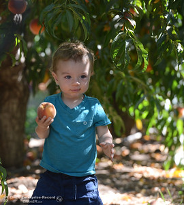 Jason Blake, 1, is able to reach the low-hanging fruit. Ripe peaches are plucked form fruit-laden trees Tuesday, Aug, 2, 2016, as the Chico State Universtiy Farm in Chico, California, opens its orchards to the public for peach picking at $1.50 per pound. (Dan Reidel -- Enterprise-Record)