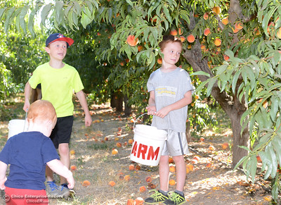 Left to right, the Greene brothers Bennet, 1, Owen, 8, and Hayden, 7, look for ripe peaches to pick Tuesday, Aug, 2, 2016, as the Chico State Universtiy Farm in Chico, California, opens its orchards to the public for peach picking at $1.50 per pound. (Dan Reidel -- Enterprise-Record)