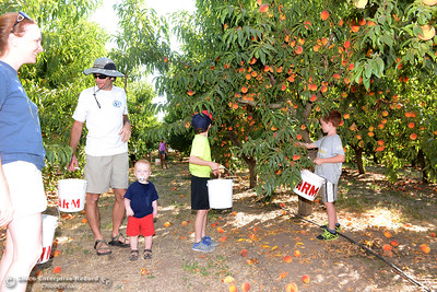 The Greene family, left to right, Laura, Brandon, Bennett, 1, Owen, 8, and Hayden, 7, look for the perfect peaches to pluck from fruit-laden trees Tuesday, Aug, 2, 2016, as the Chico State Universtiy Farm in Chico, California, opens its orchards to the public for peach picking at $1.50 per pound. (Dan Reidel -- Enterprise-Record)