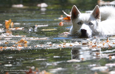 Katie Carpenter of Chico takes her dog Denali for a swim among the leaves in Big Chico Creek just above Sycamore Pool at the One Mile Recreation Area of Bidwell Park in Chico Calif. Friday Sept. 23, 2016. (Bill Husa -- Enterprise-Record)