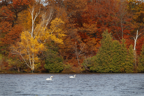 Record-Eagle/Keith King<br /> A pair of swans swim Thursday, November 3, 2011 in Boardman Lake.
