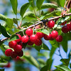 Record-Eagle/Jan-Michael Stump<br /> Send Farms workers use a shaker to harvest tart cherries in Bingham Township on Tuesday morning.