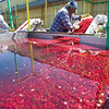 Record-Eagle/Jan-Michael Stump<br /> Angel Sanchez picks out debris from cherries heading to a de-stemmer while being processed at Leelanau Fruit Company on Tuesday morning.