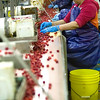 Record-Eagle/Jan-Michael Stump<br /> Maria Cienfuegos picks out stems and broken cherries as they move down the line while being processed at Leelanau Fruit Company on Tuesday morning.