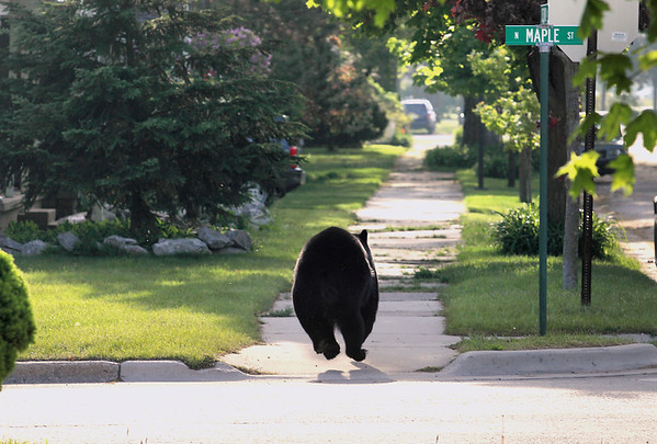Record-Eagle/Keith King<br /> A black bear eludes capture Sunday, May 29, 2011 as it runs eastward past the intersection of Second Street and Maple Street in Traverse City.