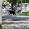 Record-Eagle/Keith King<br /> A black bear runs through a neighborhood Sunday, May 29, 2011 in Traverse City.