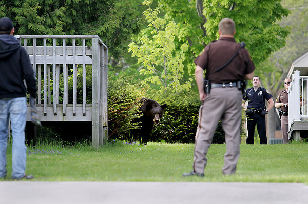 Record-Eagle/Keith King<br /> A black bear looks out as members of area law enforcement, area fire fighters and state natural resources officers stand Sunday, May 29, 2011 between two buildings located near Second Street and Division Street.