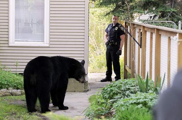 Record-Eagle/Keith King<br /> A black bear stands between two houses on Second Street while Traverse City police officer Mike Peters looks on Sunday, May 29, 2011 as members of area law enforcement, area fire fighters and state natural resources officers attempt to keep it from running.