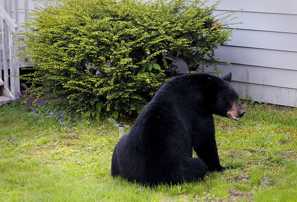 Record-Eagle/Keith King<br /> A black bear sits as members of area law enforcement, area fire fighters and state natural resources officers stand Sunday, May 29, 2011 near Second Street and Division Street.