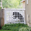 Record-Eagle/Keith King<br /> A black bear tears off a section of fence Sunday, May 29, 2011 in the backyard of a house in Traverse City.