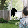Record-Eagle/Keith King<br /> A black bear climbs over a fence Sunday, May 29, 2011 near homes in Traverse City.