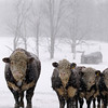 SNOW CATTLE
