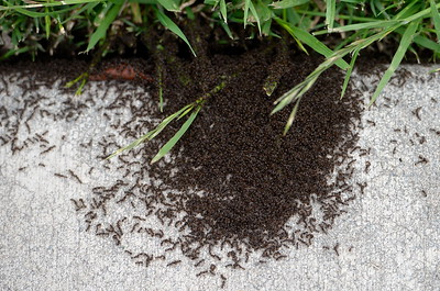 Ants pile up near the sidewalk at the Chico Enterprise-Record office in Chico, Calif. Thurs. April 20, 2017. (Bill Husa -- Enterprise-Record)