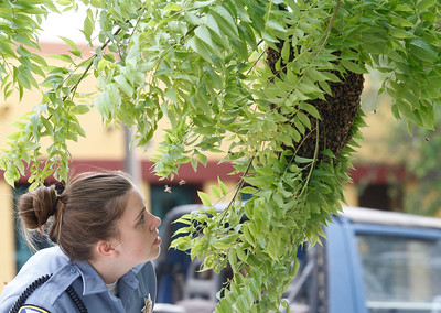 Samantha Underwood with Animal Control looks at the swarm of bees as people wait for the beekeeper to arrive Wednesday April 18, 2017 at First and Broadway in Chico, California.(Emily Bertolino -- Enterprise-Record)