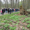 Richard Payerchin - The Morning Journal <br> A group of about 50 people treks past a fallen tree at Elywood Park during the annual Spring Walk, a collaborative program of Lorain County Metro Parks, Friends of Cascade Park and the Lorain County Historical Society. The walk took place May 1, 2016.