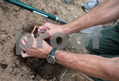 Daniel Duncum, staff forester with Texas A&M Forest Service, separates roots before planting a tree at Smith County Juvenile Services in Tyler Friday Oct. 9, 2015. The tree planting event was hosted by Smith County 4H as part of National 4H Week.   (Sarah A. Miller/Tyler Morning Telegraph)