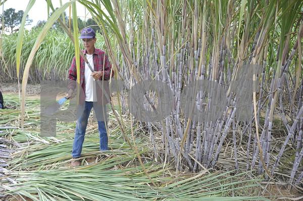 Ribbon Cane Farmer