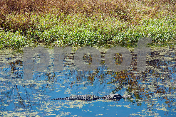 photo by Sarah A. Miller/ Tyler Morning Telegraph  An alligator swims in a pond at Mineola Nature Preserve Wednesday Oct. 29, 2014. Mineola Nature Preserve is 3,000 acres large and offers five miles of walking trails, 25 miles of horseback riding trails, an archery range, a canoe trail along the Sabine River and other recreational opportunities.
