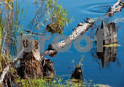 photo by Sarah A. Miller/ Tyler Morning Telegraph  Turtles line a tree branch submerged in a pond at Mineola Nature Preserve Wednesday Oct. 29, 2014. Mineola Nature Preserve is 3,000 acres large and offers five miles of walking trails, 25 miles of horseback riding trails, an archery range, a canoe trail along the Sabine River and more.