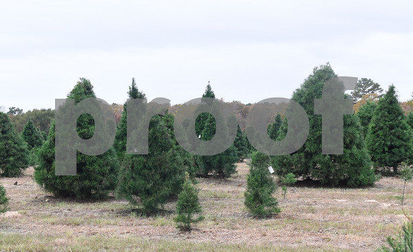 Virginia pines are pictured at Trail Creek Farm in Lindale Tuesday Nov. 22, 2016. Trail Creek Farm is a Christmas tree farm that also offers family activities such as a zip line, picnic areas and bounce houses.  (Sarah A. Miller/Tyler Morning Telegraph)