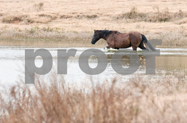 photo by Sarah A. Miller/Tyler Morning Telegraph  A horse walks into a pond at the Cleveland Amory Black Beauty Ranch in Murchison Thursday Nov. 21, 2013. Over 1,000 rescued domestic and exotic animals find permanent refuge at Cleveland Amory Black Beauty Ranch which spans 1,300 acres. Animals come from slaughterhouses, biomedical research laboratories, trophy hunting ranches, circuses or roadside zoos, the exotic pet trade and public lands.