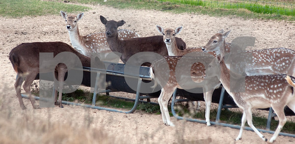 photo by Sarah A. Miller/Tyler Morning Telegraph  A group of deer feed at the Cleveland Amory Black Beauty Ranch in Murchison Thursday Nov. 21, 2013. Over 1,000 rescued domestic and exotic animals find permanent refuge at Cleveland Amory Black Beauty Ranch which spans 1,300 acres. Animals come from slaughterhouses, biomedical research laboratories, trophy hunting ranches, circuses or roadside zoos, the exotic pet trade and public lands.