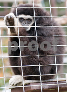 photo by Sarah A. Miller/Tyler Morning Telegraph  Princess, a gibbon, looks out from her enclosure at the Cleveland Amory Black Beauty Ranch in Murchison Thursday Nov. 21, 2013. Over 1,000 rescued domestic and exotic animals find permanent refuge at Cleveland Amory Black Beauty Ranch which spans 1,300 acres. Animals come from slaughterhouses, biomedical research laboratories, trophy hunting ranches, circuses or roadside zoos, the exotic pet trade and public lands.
