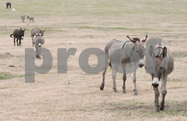 photo by Sarah A. Miller/Tyler Morning Telegraph  Burros walk down a hill toward the feeding area at the Cleveland Amory Black Beauty Ranch in Murchison Thursday Nov. 21, 2013. Over 1,000 rescued domestic and exotic animals find permanent refuge at Cleveland Amory Black Beauty Ranch which spans 1,300 acres.
