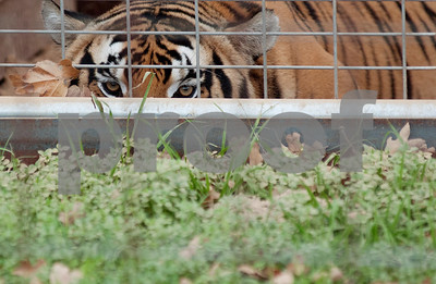 photo by Sarah A. Miller/Tyler Morning Telegraph  Alex, a hybrid tiger, peers out from his enclosure at the Cleveland Amory Black Beauty Ranch in Murchison Thursday Nov. 21, 2013. Over 1,000 rescued domestic and exotic animals find permanent refuge at Cleveland Amory Black Beauty Ranch which spans 1,300 acres.