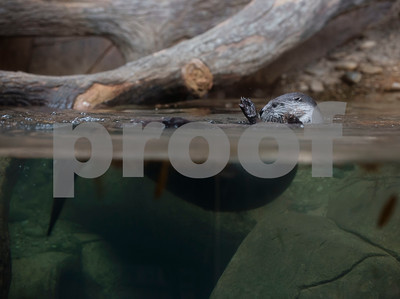 """An otter swims in its enclosure as business leaders tour Caldwell Zoo as part of a tour of Tyler during the """"Keepin' Tyler Rosy"""" Destination Training held by the Tyler Chamber of Commerce on Thursday Dec. 7, 2017. The program is a training event designed to educate front line staff from local businesses on what Tyler has to offer to their clients and visitors as well as customer service training.  (Sarah A. Miller/Tyler Morning Telegraph)"""