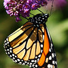 Globe/T. Rob Brown<br /> A monarch butterfly hangs from a butterfly bush at Danette Bray's home, 2900 block of N. Michigan, Joplin, Monday afternoon, Sept. 25, 2006.