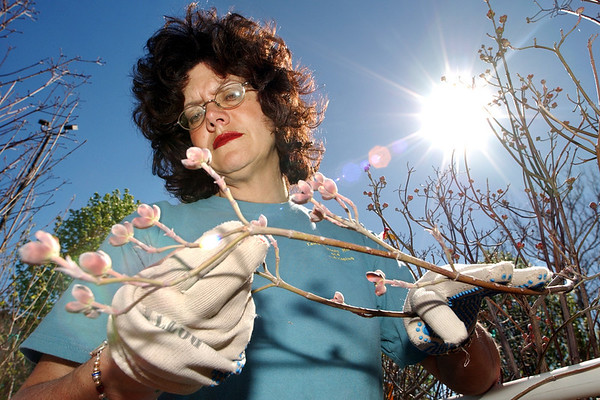 Herald/T. Rob Brown<br /> Kristi Seibert, Tangled Roots Nursery retail manager, examines a Cherokee chief dogwood as she tests its viability at the nursery on North Range Line Road Friday afternoon, March 31, 2006.<br /> Section: Cover