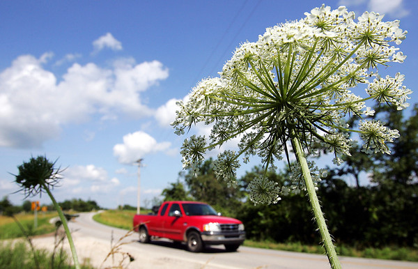Globe/T. Rob Brown<br /> Some Queen Anne's lace basks in the Southwest Missouri warm weather along the side of Missouri Highway 76 near the Lohmer ranger lookout tower in the Mark Twain National Forest in Barry County, Mo., not far from Cassville, Mo., Tuesday afternoon, June 19, 2007.