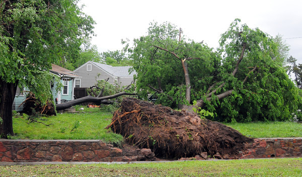 This lrge tree across from Andrews PArk was uprooted Friday, April 13, 2012, by a tornado that hit Norman. Photo by Jerry Laizure